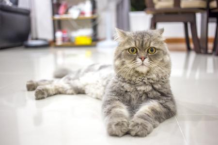 eyes hazel: Persian cat relax on floor. Stock Photo