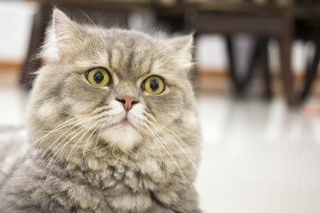 phlegmatic: Closeup big eye Persian cat