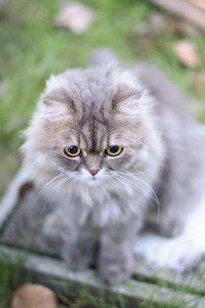 persian cat: Persian cat relax on green grass