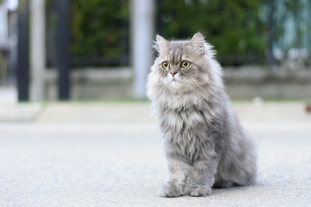 Persian cat relax on road