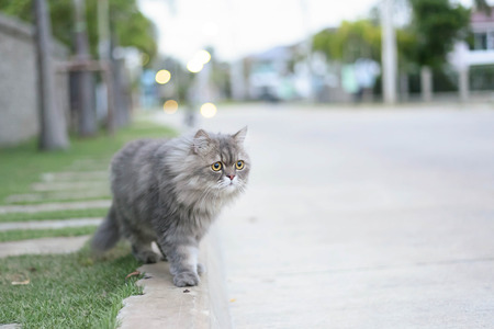 eyes hazel: Persian cat relax on road