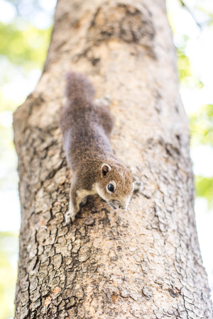 clinging: Gray squirrel clinging to a tree.