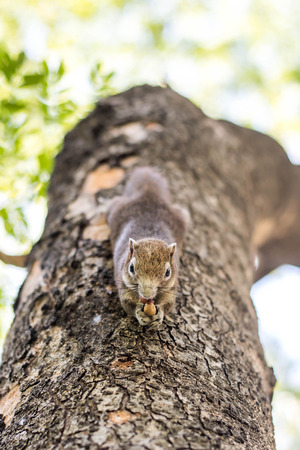 acorn: Squirrel clinging and eating nuts on a tree.