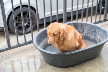 gets: Golden retriever dog before gets a bath