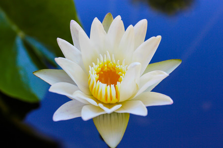 buddha lotus: beautiful white lotus flower is blooming Stock Photo