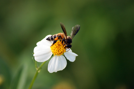bee swarm: flower bee swarm of thailand