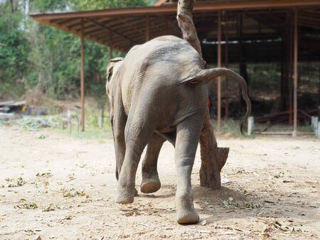 A cute Asian elephant is scratching the hip by rubbing back and forth with the trunk of a big tree.