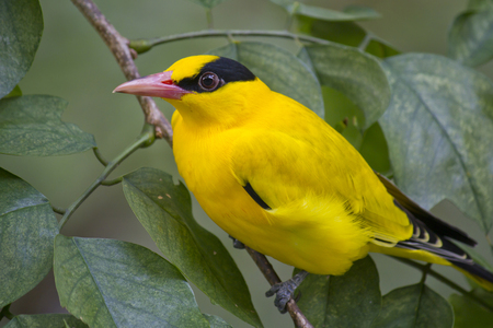 Beautiful bright yellow bird. Black naped oriole