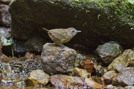 reside: Small bird, Streaked wren warbler reside around the stream in deep forest
