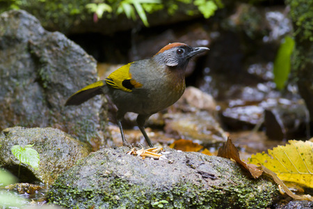 silver eared: Silver eared lauhingthrush Stock Photo