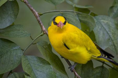 oriole: Beautiful bright yellow bird. Black naped oriole