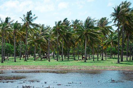 long shot: Piantagione di cocco lungo colpo