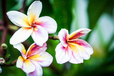 spp: Plumeria spp. (frangipani flowers) in natural light Stock Photo