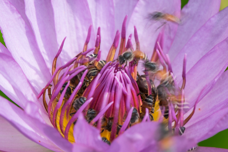 Bees gathering pollen in waterlily flower