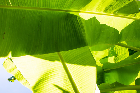 Green banana leaves pattern, Backgrounds 스톡 콘텐츠
