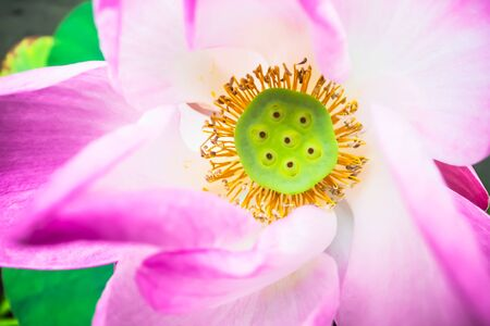 Beautiful lotus in natural light, Backgrounds Imagens