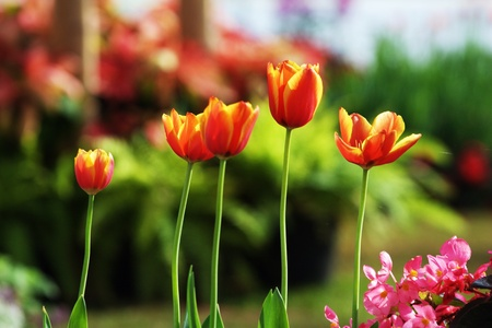 beautiful tulips in the garden photo