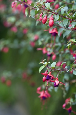fuschia: Fuschia flower in the garden