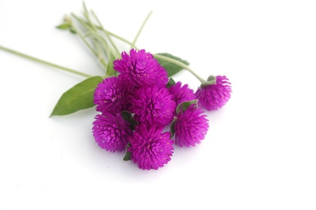 Globe amaranth flower on white background Stock Photo - 16138293