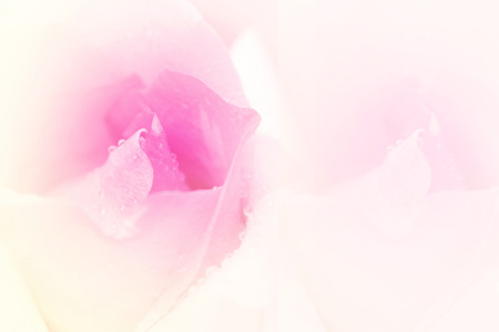 Beautiful sweet rose in soft focus may use for background.