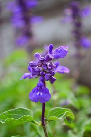 violette fleur: Fleur pourpre Banque d'images
