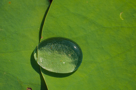 forest jungle: Drops of water on a lotus leaf