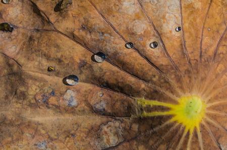 wilting: Gotas de agua sobre una hoja de loto marchitamiento