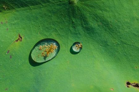 lotus effect: Drops of water on a lotus leaf