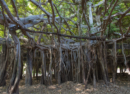 forest conservation: Banyan tree in forest conservation, Phimai Thailand.