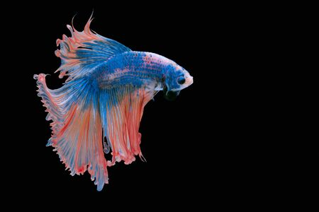 capture the moment: Capture the moving moment of red siamese fighting fish isolated on black background. Stock Photo