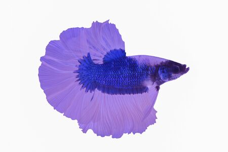 Capture the moving moment of red siamese fighting fish isolated on white background. Stock Photo