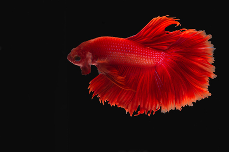 Capture the moving moment of red siamese fighting fish isolated on black background. Stock Photo