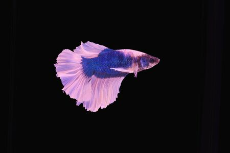 half moon tail: Capture the moving moment of red siamese fighting fish isolated on black background. Stock Photo