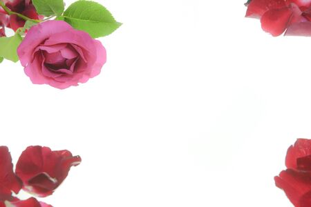 red rose petals: Background of red rose petals. Vector