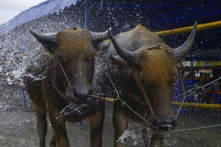racing festival: CHONBURI, THAILAND - JULY 7: Buffalo take a bath during wait for competition at Buffalo Racing Festival on 7 July 2013. Chonburi, Thailand. Buffalo Racing Festival is a tradition of Chonburi.