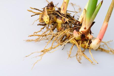 freshest: Yellow galangal, the freshest and useful. Stock Photo