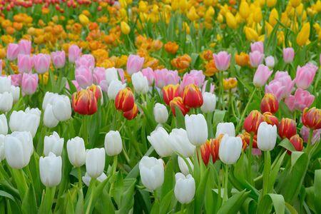 tulipan: tulipan. Piękny bukiet tulipanów. kolorowe tulipany. tulipany na wiosnę Zdjęcie Seryjne