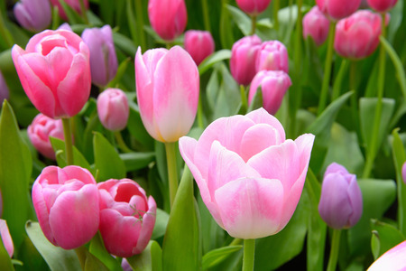 colorful tulips. tulips in spring, colourful tulip