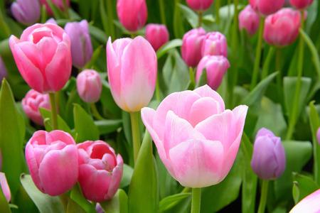 tulipan: kolorowe tulipany. tulipany na wiosnę, kolorowe tulipan Zdjęcie Seryjne
