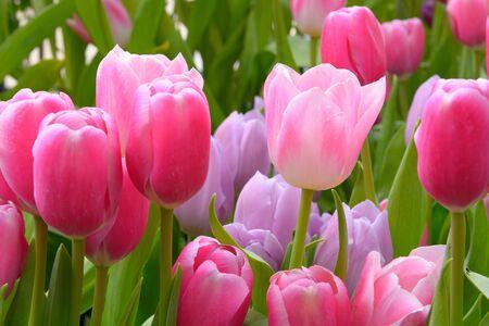 tulip: kolorowe tulipany. tulipany na wiosnę, kolorowe tulipan Zdjęcie Seryjne