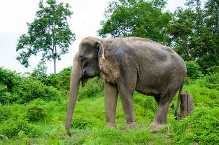 Elephant  standing with forest in the background.