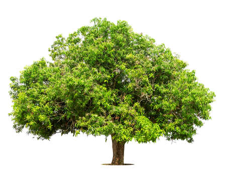 Isolated green tree on white background, Trees isolated on white background, tropical trees isolated used for design, advertising and architecture. Stock fotó