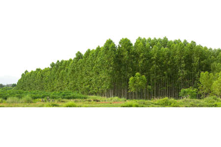 Eucalyptus forest isolated on white background, in Thailand, plats for paper industry. Banque d'images