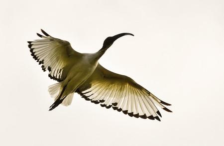 ibis: Ibis wild in flight