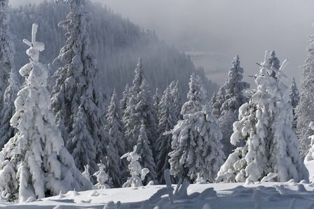 a beautiful pine forest with much snow photo