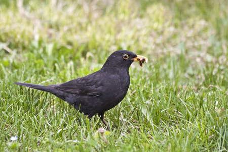 a blackbird (turdus merula) who prepares lunch