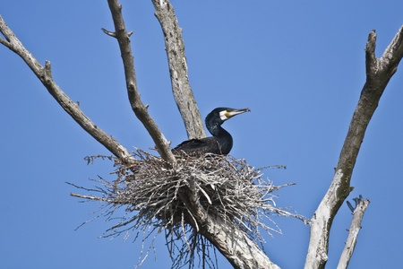 carbo: cormorant (phalacrocorax carbo ) on nest and a blue sky Stock Photo