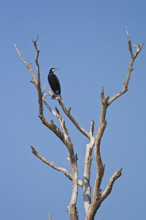 carbo: cormorant (phalacrocorax carbo) on a dry tree Stock Photo