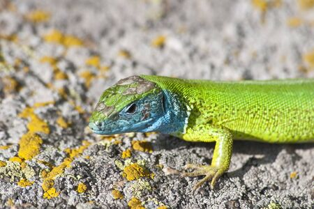 green lizard (lacerta viridis) on a rock mountain Stock Photo