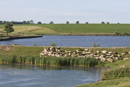 a flock of sheep on the lake
